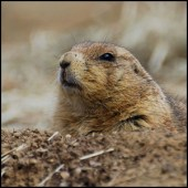Ground Hog by John Sonderman [CC-BY-SA-2.0 (http://creativecommons.org/licenses/by-sa/2.0)], via Flickr https://flic.kr/p/4zUjkf [cropped]