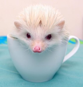 albino-hedgehog_2506746k