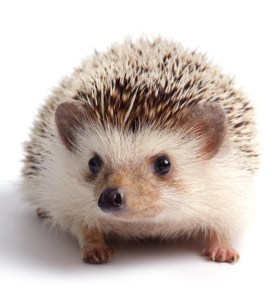 full-face-hedgehog