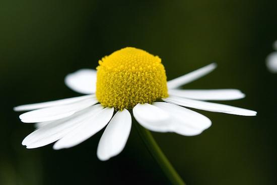 musetel planta medicinala matricaria