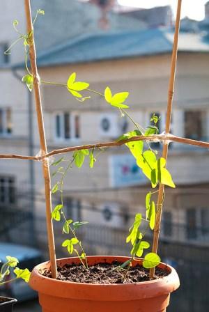 passiflora floarea pasiunii ingrijire