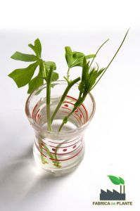 Inmultire Passiflora prin butasi