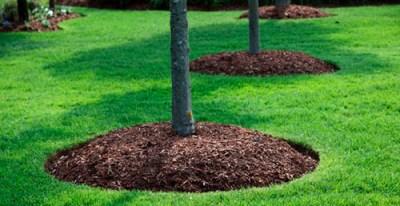 Arbori mulciti la baza