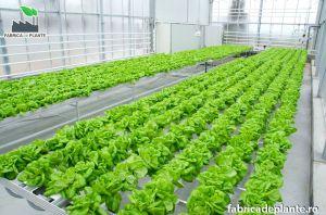 Cultura hidroponica de salata