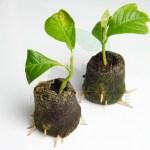 Inmultire magnolie prin butasi - inradacinare