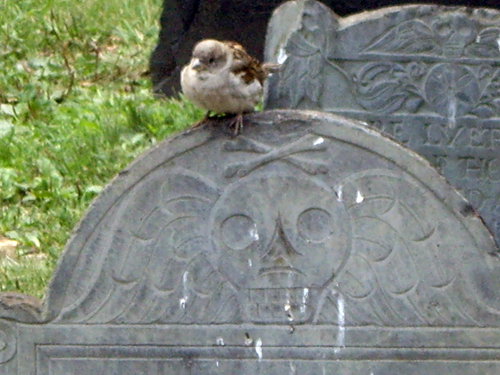 Spooky Sparrow - Granary Burying Ground - Park Street, Boston MA