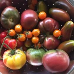 Small Of Black Vernissage Tomato