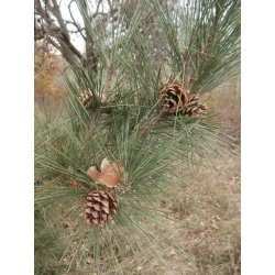 Favorite Which May Be Good As Se Pine Trees May Only Have Short Kleckner Oasis Pine Tree Seeds Pine Tree Seeds Name Pine Tree Seeds Australia