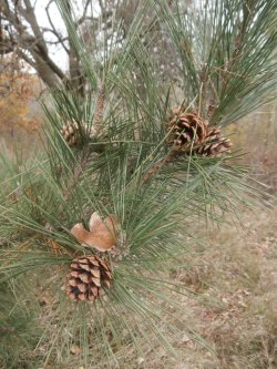 Small Of Pine Tree Seeds