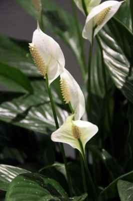 Plantas de interior que filtram o ar - Spathiphyllum wallis