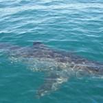 Aggressive Great White Shark Stalks Australian Family