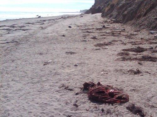 Cojo Ranch Shark Attack Carcass