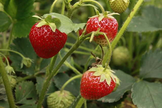 strawberries-55303_640