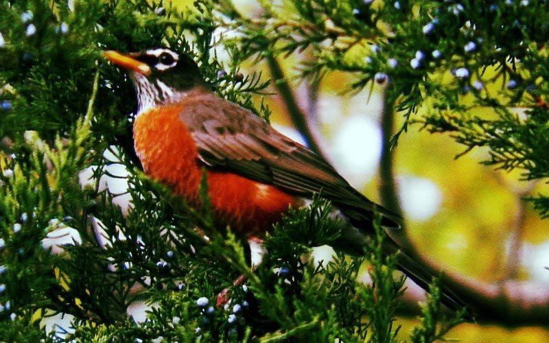 [url=https://flic.kr/p/hbF8So][img]https://farm4.staticflickr.com/3805/10622509086_960b01348d_b.jpg[/img][/url][url=https://flic.kr/p/hbF8So]Robin bird[/url] by [url=https://www.flickr.com/photos/23298749@N03/]lovinlife642000[/url], on Flickr