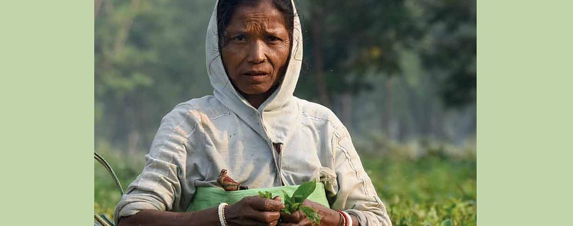 Livet på en teplantasje – et liv uten verdighet