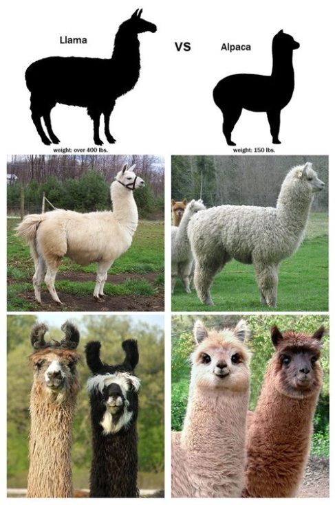 Difference between an Alpaca and a Llama