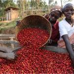 Kenya: les autorités attendent une hausse de 22% de la récolte de café
