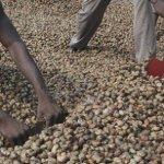 Ghana : Le gouvernement interdit les exportations de noix de cajou brutes