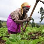 Cameroun : 14,9% du crédit bancaire investi dans l'agriculture