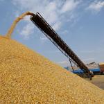 Algérie: nouvelle baisse de la production céréalière
