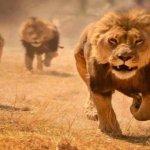 Les trajectoires divergentes des  lions africains (Mckinsey)