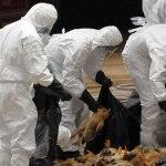 Cameroun- La grippe aviaire fait perdre 16 milliards de FCFA à la filière avicole