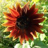 Rot-gelbe Sonnenblume