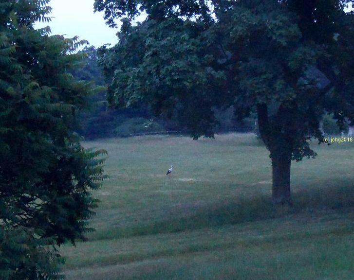 Beitragsbild Und noch einmal Storch auf der Wiese am frühen Montag