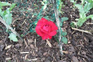Rosenblüte am 29.06.2016