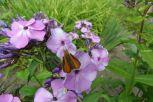 Schmetterling am Phlox am 30.06.2016