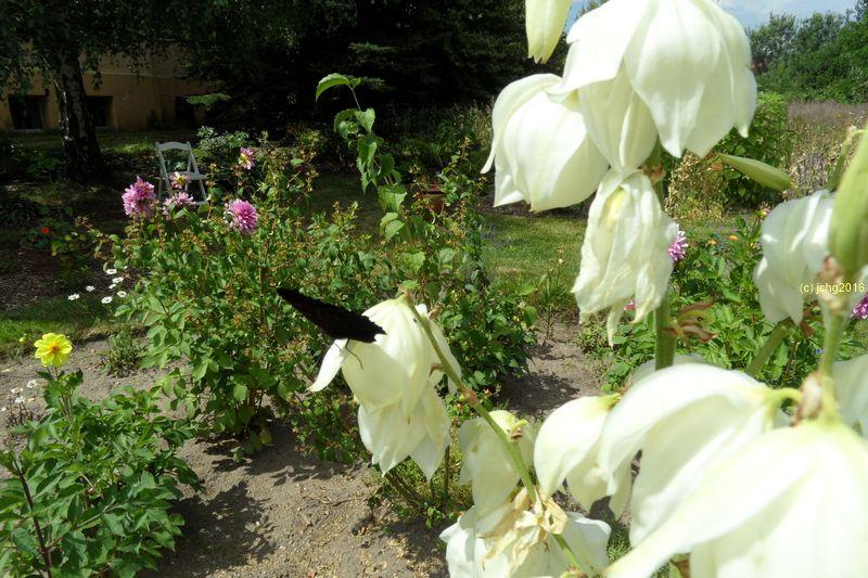 Tagpfauenauge an der Palmlilienblüte