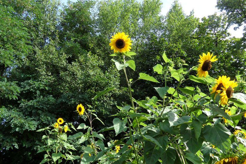 Riesensonnenblumen