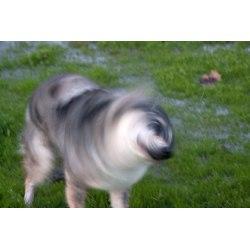 Small Crop Of Dog Keeps Shaking Head