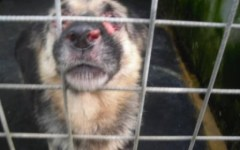 Cani e capre maltrattati, chiusa struttura-lager a Prato
