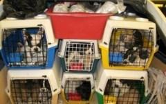 Scoperto dalla Polizia un traffico di cani e gatti dall'Europa dell'Est