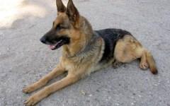Firenze: trovata morta dopo 18 giorni, Lola, femmina di pastore tedesco. Scappò di casa per paura dei botti di Capodanno