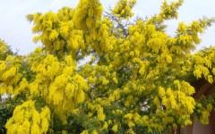 Toscana, inverno 2015 «tiepido»: mimose fiorite in anticipo e massiccio arrivo d'insetti