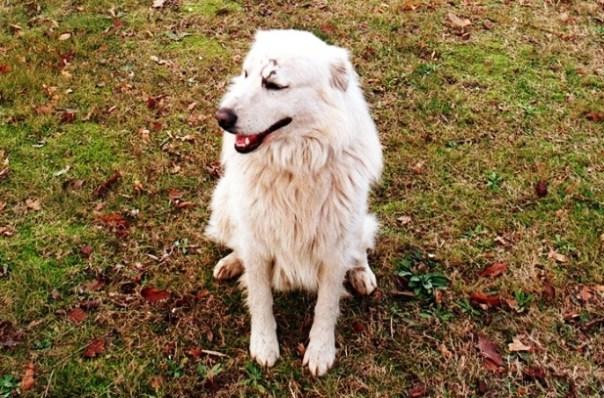 Arezzo, un cane difende la padrona dall'arrivo dei soccorritori