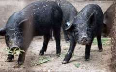 Toscana, animali in via di estinzione: fra mucche, cavalli, pecore e maiali sono 20 razze