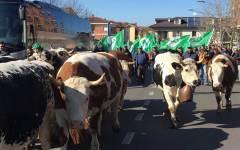Agricoltura,Carmagnola: la marcia delle vacche (e di mille allevatori) per chiedere politiche di sostegno al latte