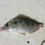 How to rig a pinfish
