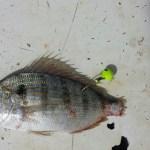 Tail hooked pinfish