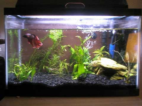 how to clean betta fish tank rocks