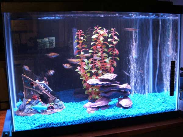 20 Gallon Freshwater Fish Tank 20 gallon tank: 3 tiger barbs,