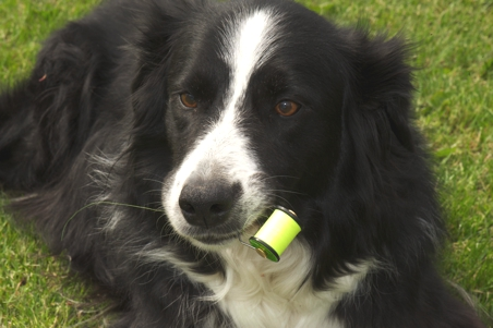 The Collie Dog Here the Border Collie. Excelent fly tying material
