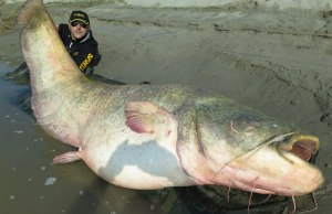 World Biggest Catfish
