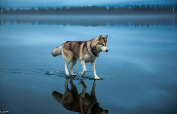 husky-walks-on-water-after-heavy-rainfall-covers-frozen-lake-fox-grom-cover