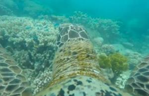 GoPro On Turtle Offers Gorgious View Of Great Barrier Reef