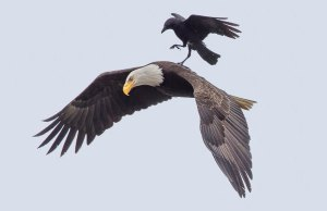 Crow Rides On The Back Of An Eagle
