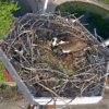 Snappy's Osprey with eggs - Photo Courtesy of Snappy's Sport Center